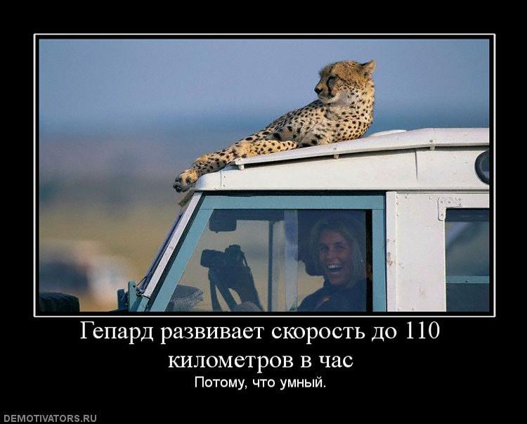 gepard-razvivaet-skorost-do-110-kilometrov-v-chas