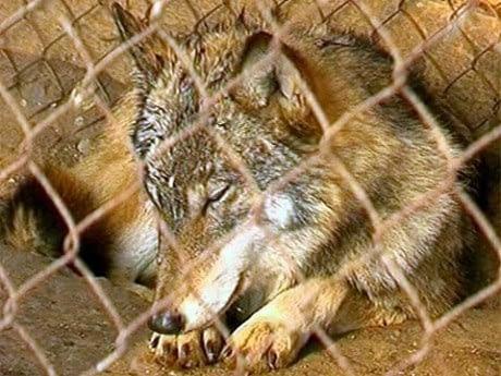 wilki - ciekawe teksty po rosyjsku